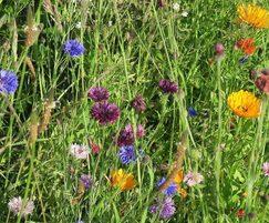 Germinal Amenity: Enhanced wildflower mixtures benefit pollinators