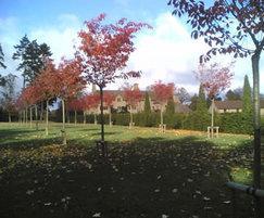 Semi-mature cherry avenue