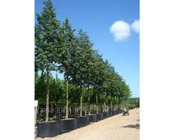 Standard trees deepdale trees esi external works for Greenspire solutions