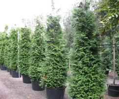 Container grown conifers, cedar (Thuja excelsa)