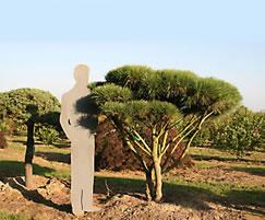 Pinus densiflora Pumila