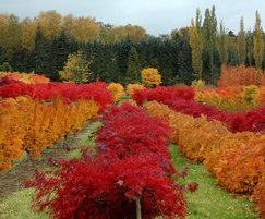 Acer palmatum assortment